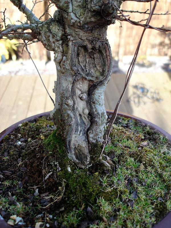 ロードオブザリングの盆栽5