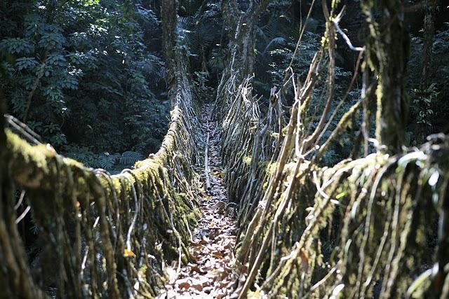 インド北東部の熱帯雨林地域にある、生きた木がそのまま橋になった神秘的な橋。8