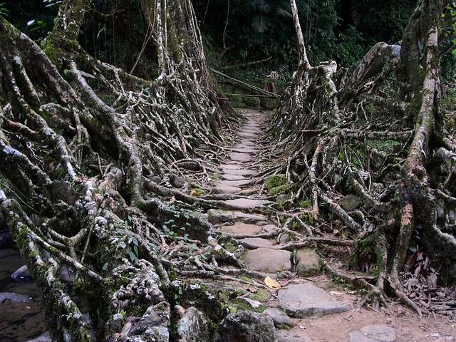 インド北東部の熱帯雨林地域にある、生きた木がそのまま橋になった神秘的な橋。
