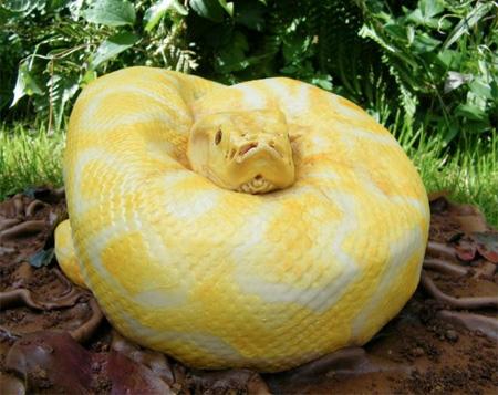 黄色い蛇のケーキ